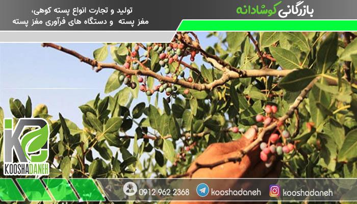 فصل برداشت بنه ایرانی