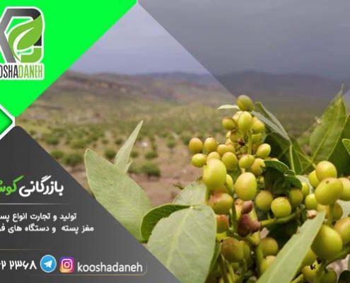 مرجع فروش مغز بنه کردستان