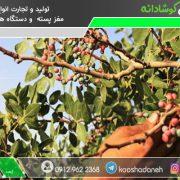 توزیع پسته کوهی افغانستان