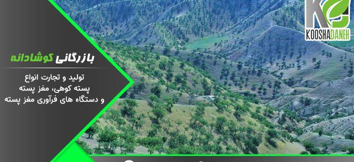 فروشنده پسته کوهی افغانستان