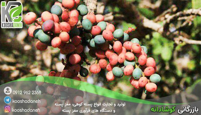 فروش جدیدترین بنه تازه اصفهان